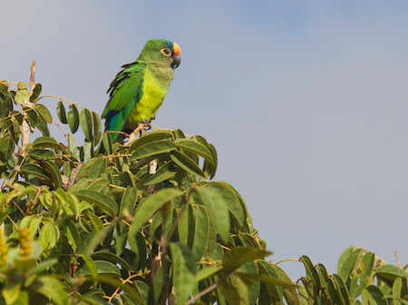 Mostly-green parakeet sits on top branches of tree.