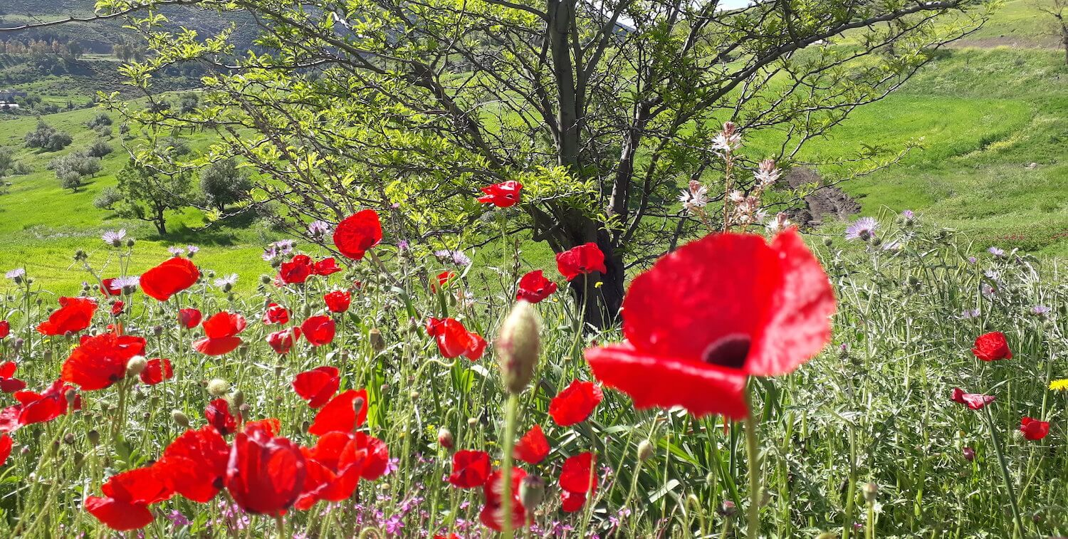 Red poppies with tree in background.