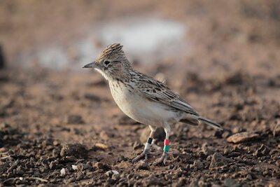 Close-up of small bird on ground, small tags on legs.