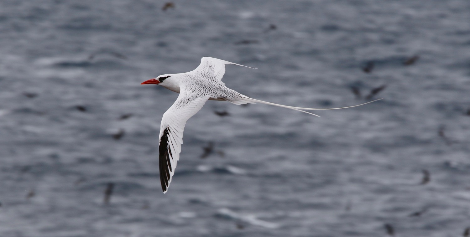 Close-up of white bird with black markings and red beak flying over ocean.