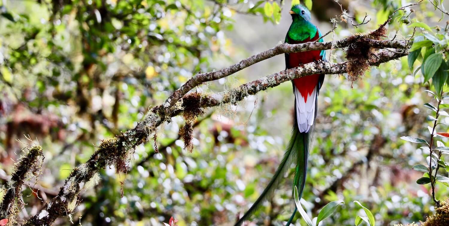 Green, red and white bird with long tail feathers perched on tree branch.