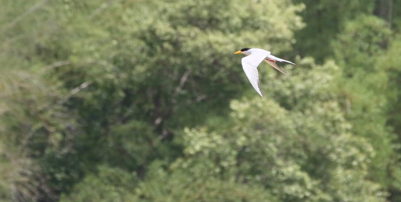 White bird with black head and yellow beak mid-flight.