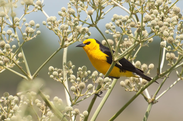 Close-up of yellow and black bird on flowering branch of tree.
