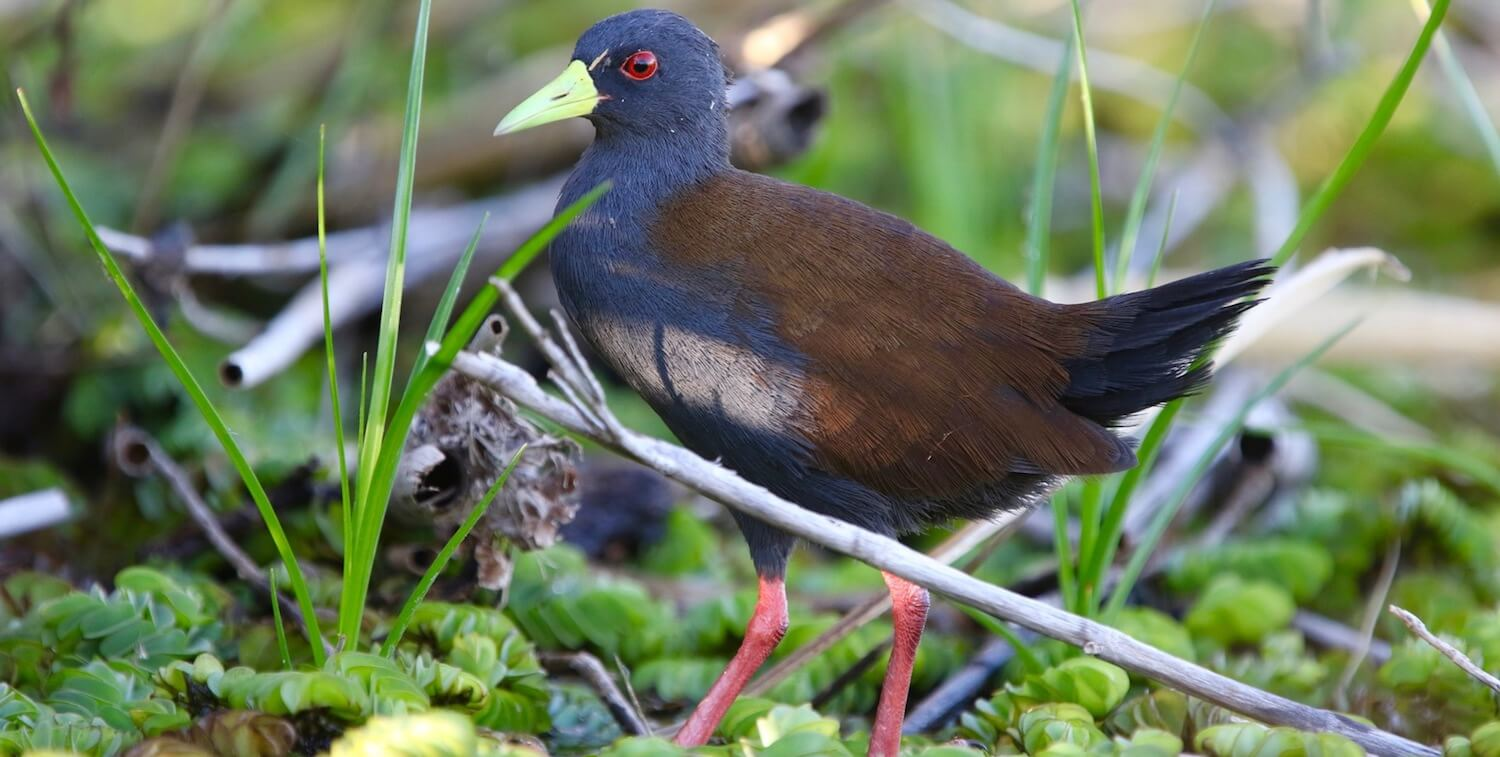 Black bird with yellow beak, red eyes and red feet walking on forest ground.