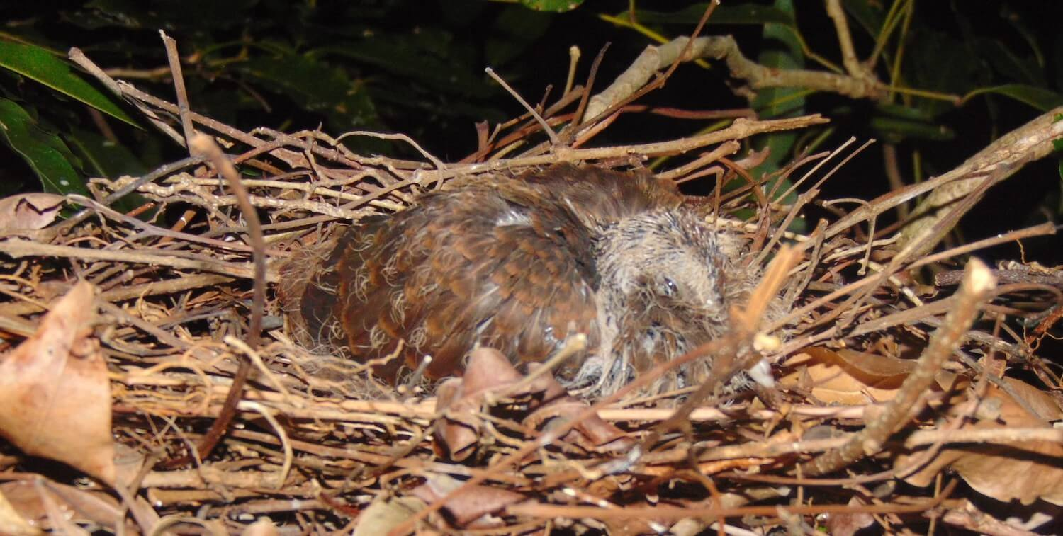 Close-up of brown bird in nest.