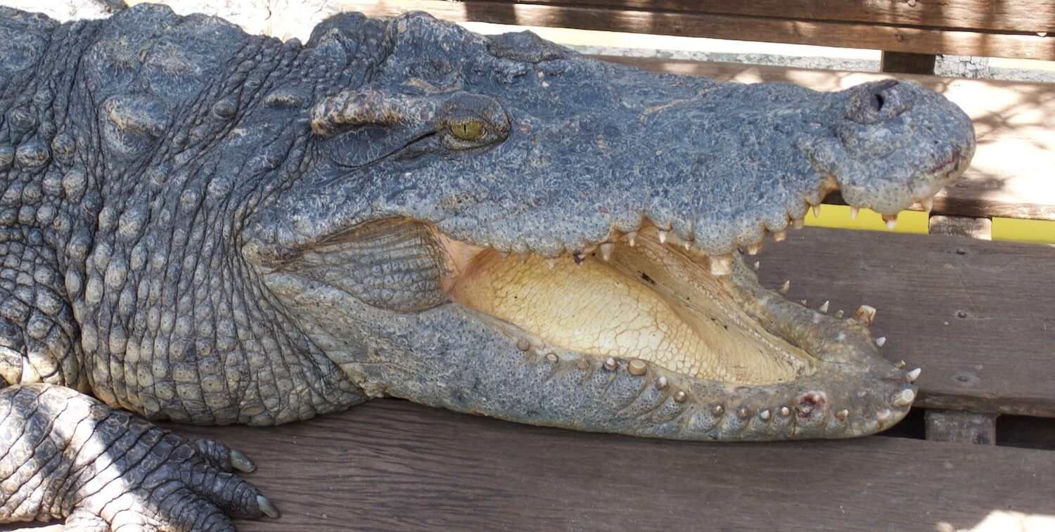 Close-up of crocodile's head with mouth open.