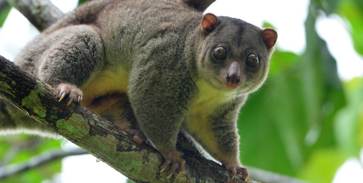 Close-up of brown marsupial with tiny ears and large eyes, in tree, looking toward camera.