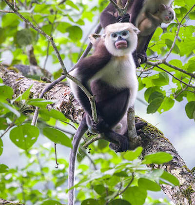 Tonkin snub-nosed monkey, with big pink lips, in tree.