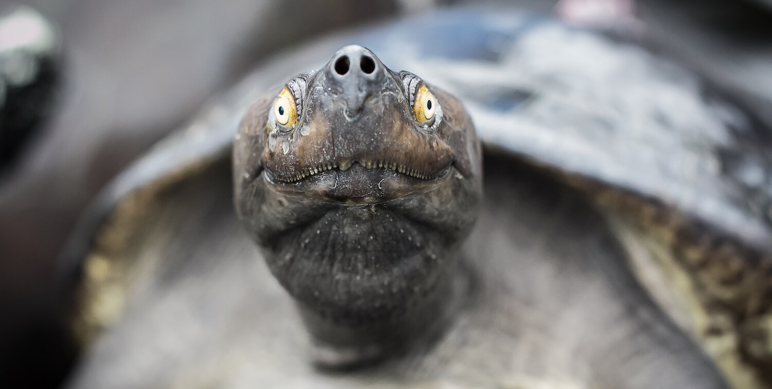 Clsoe-up of turtle looking directly toward camera.