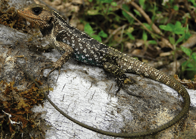 Close-up of brown-and-white lizard.