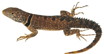 Close-up of light and dark brown lizard against white backdrop.