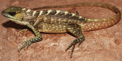 Close-up of lizard with brown, green, yellow and white coloring.