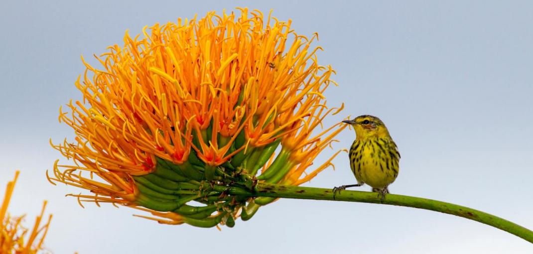 Small bird rests on stem of large orange flower.