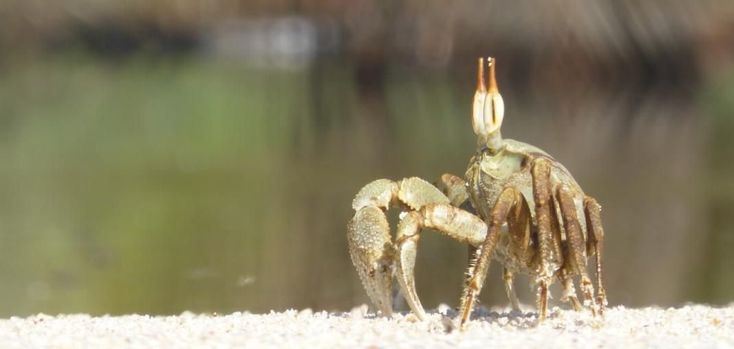 Eye-level close-up of crab with eyestalks walking on sand.