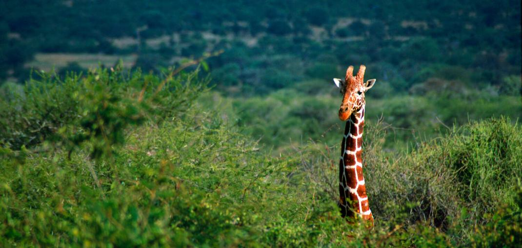 A giraffe's neck and head stick out above the tops of trees, Kenya.