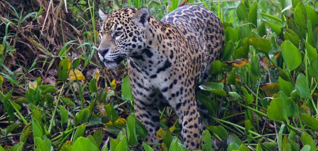 Close-up of a jaguar amid dense green vegetation, Brazil.