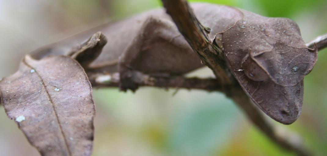 Close-up of leaf-tailed gecko on thin branch.