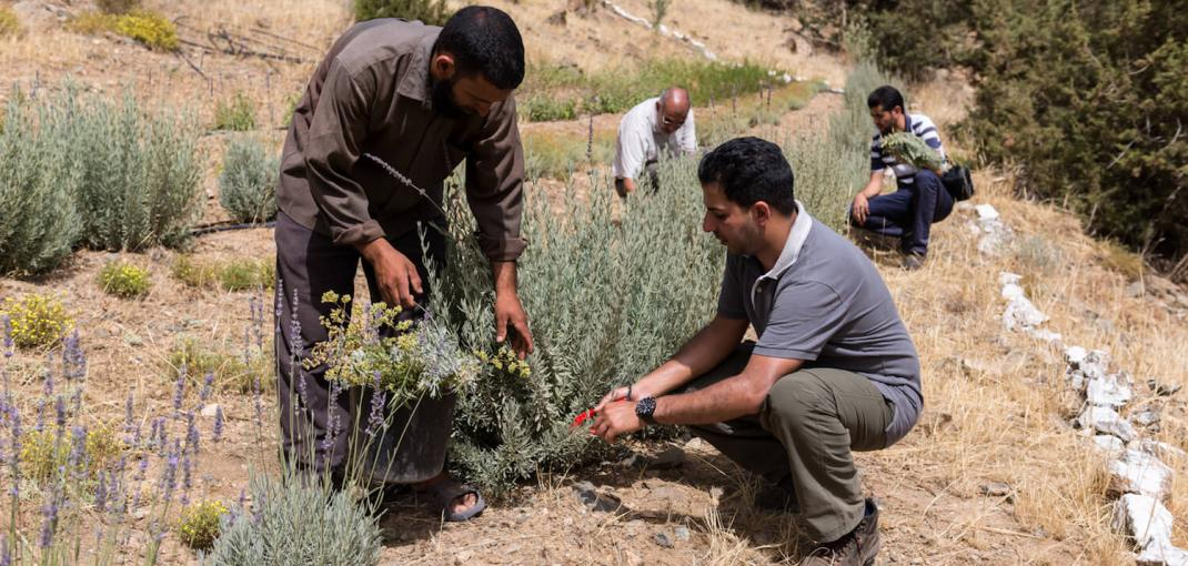 Men tend plants in rows on a grassy slope in Morocco.