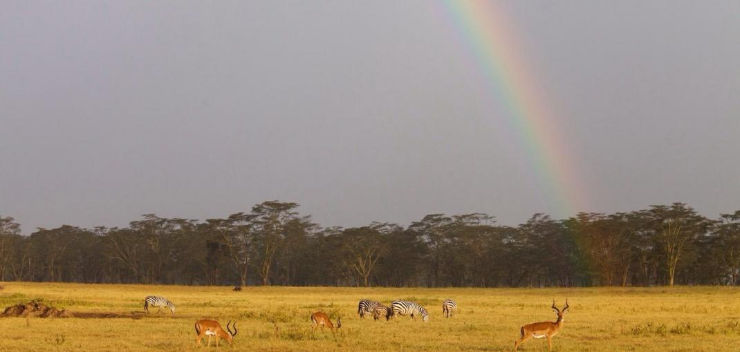 Group of impalas and Grévy's zebras stand under a rainbow in the Kenyan plain.