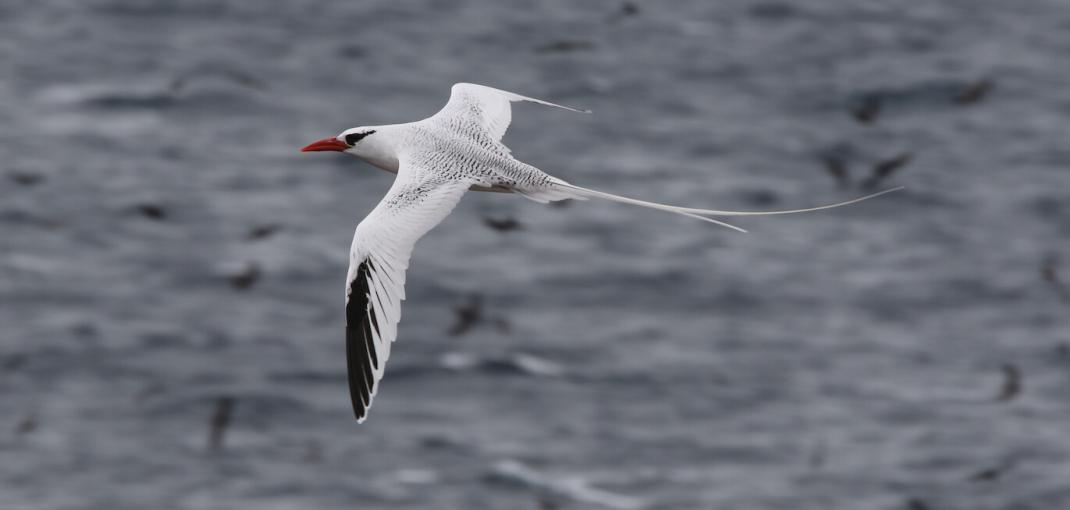 White-and-black bird with red beak flying over ocean.