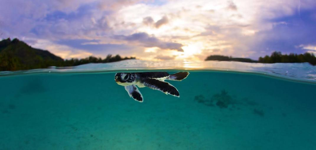 Underwater/above-water image of small turtle at water's surface, twilight lighting.