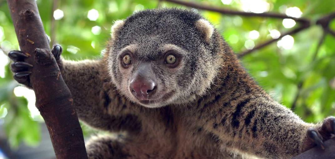 Close-up of the face of a Sulawesi bear cuscus, a small, furry marsupial, in a tree.