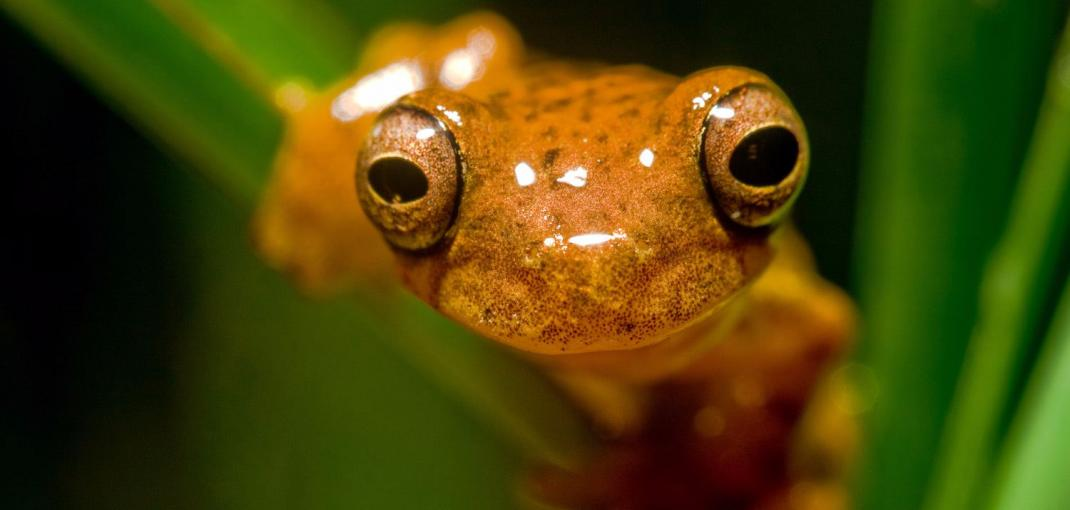 Close-up image of the face of an orange frog sitting on a green leaf.