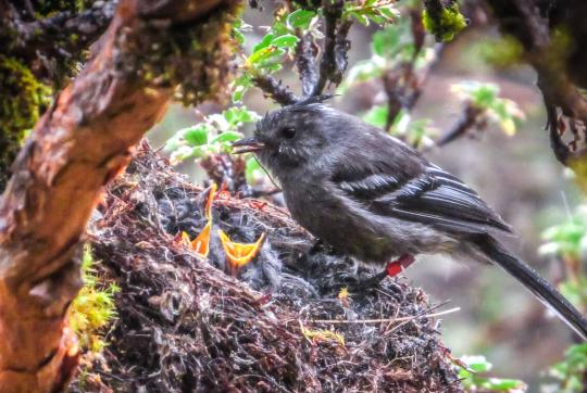 Gray bird on nest with 3 yellow beaks peaking out.