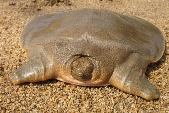 Close-up of flat pancake-like turtle with head poking out.