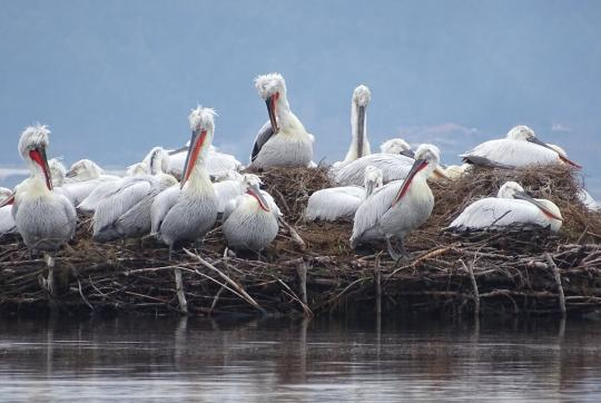 About a dozen large, white pelicans on manmade floating raft of sticks and branches.