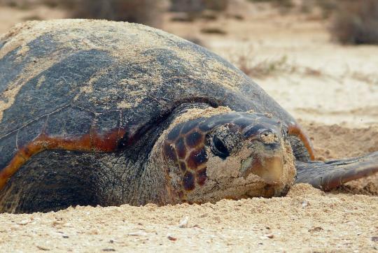 Close-up of adult loggerhead turtle on beach.