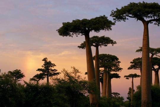 Baobab trees at sunset.