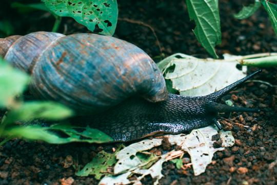 Close-up of giant snail on forest floor.