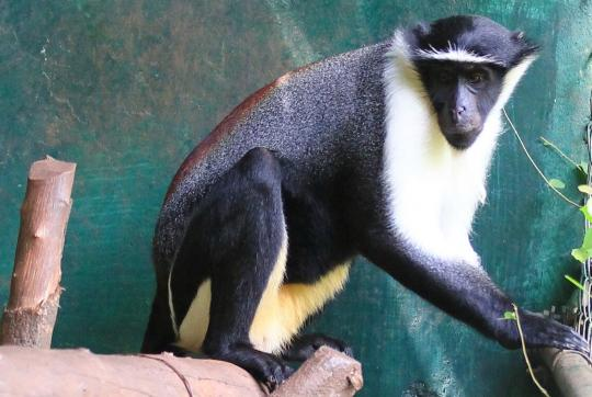 Black and white roloway monkey.