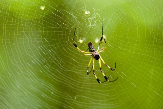 Yellow-and-black spider at center of web, Guatemala.