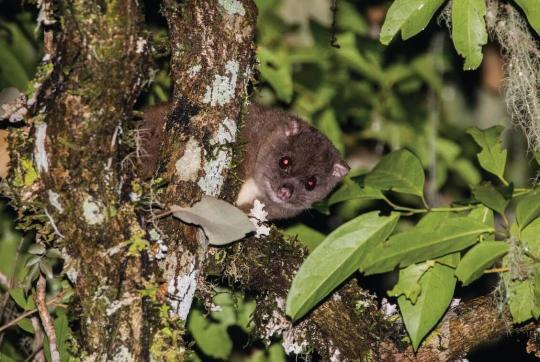 small cuscus in tree