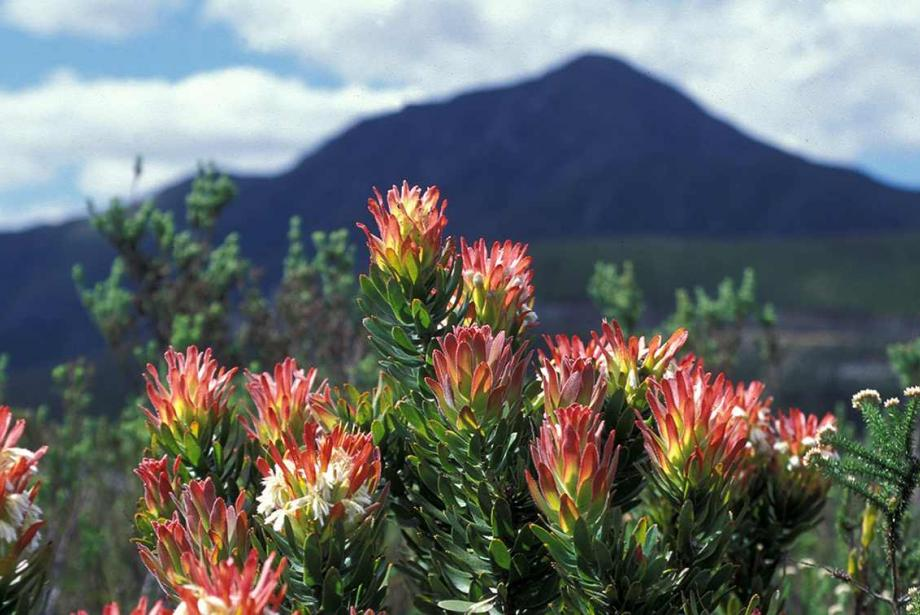 Bush of red protea with mountains in the background.