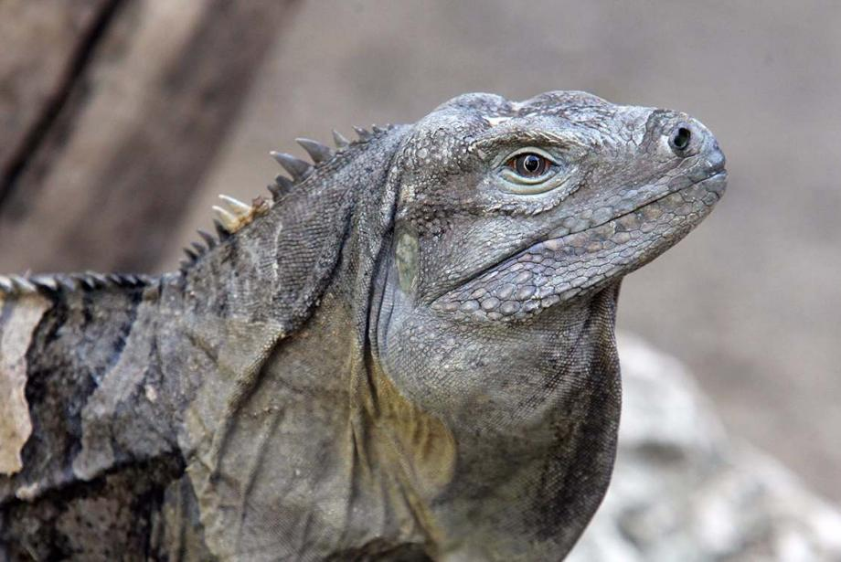 Close-up of iguana.