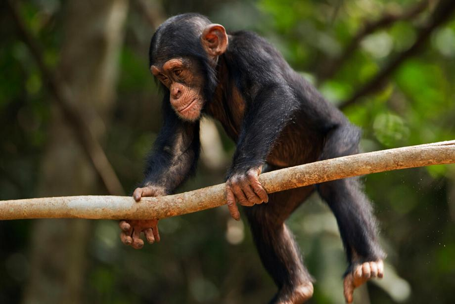 Close-up of young chimpanzee swinging from branch.