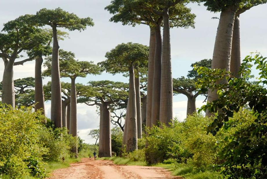 Dirt road, large boabab trees on either side.