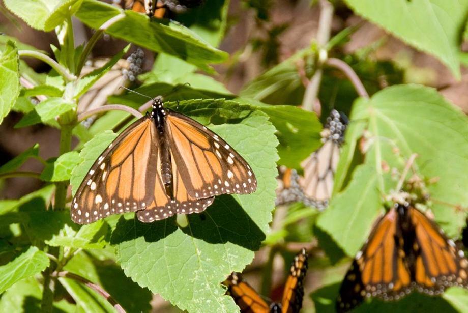 Close-up of about a dozen orange/black butterflies on plant.
