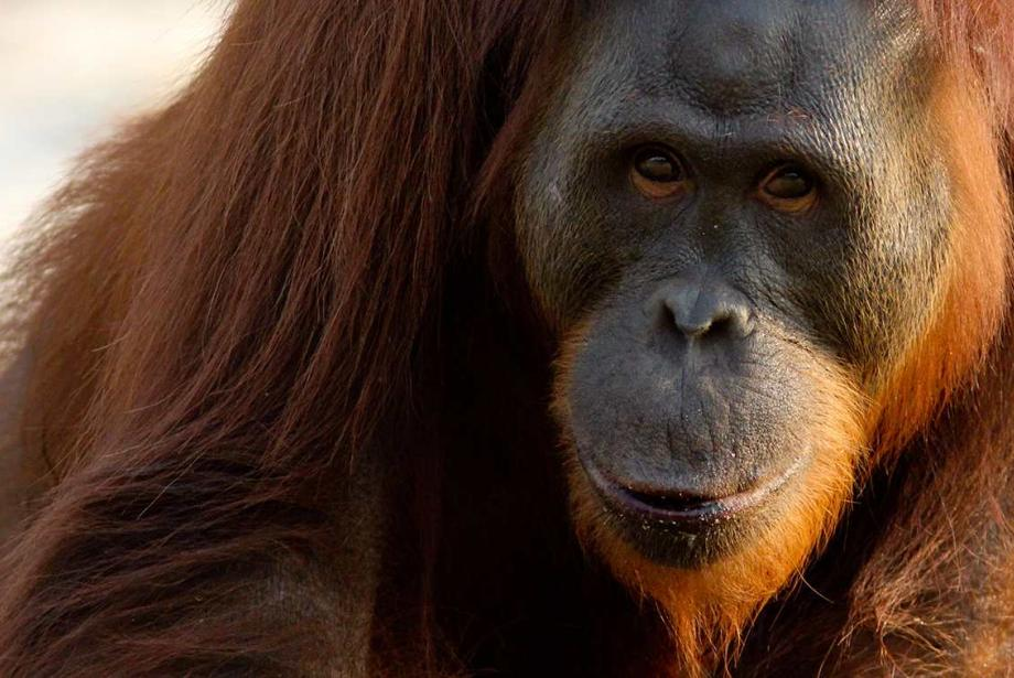 Large orangutan close up.