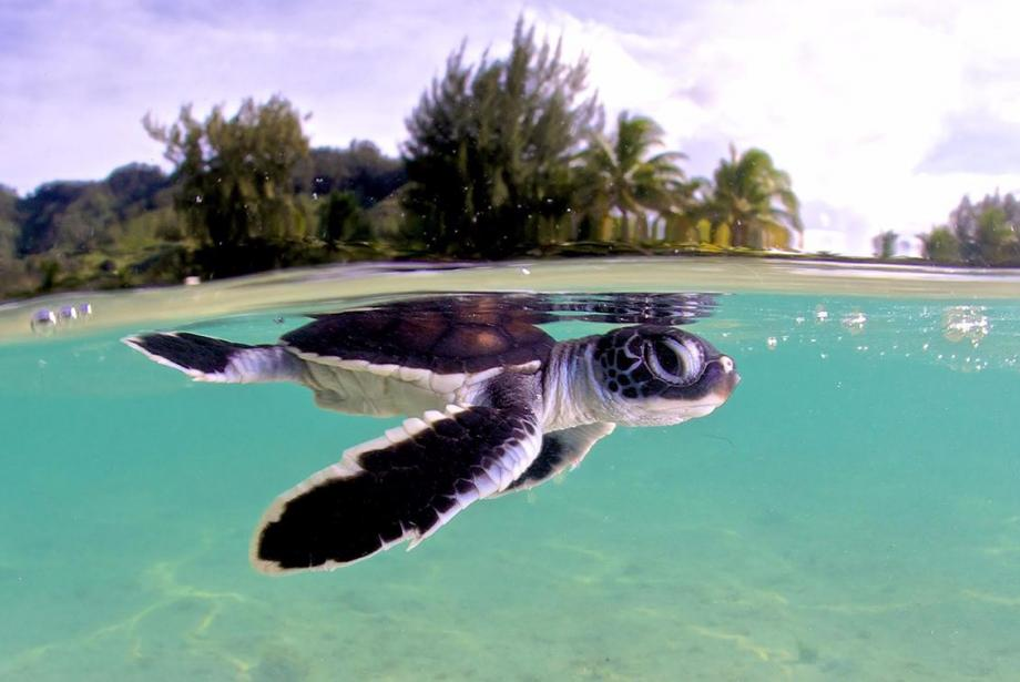 Small sea turtle just under the water's surface, island vegetation in background.