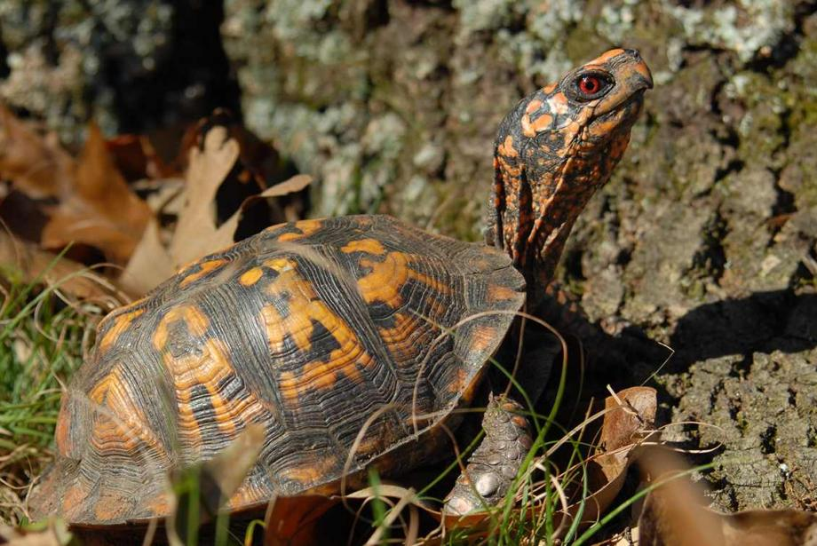 Close-up of brown and orange turtle next to tree, leaves scattered on the ground.