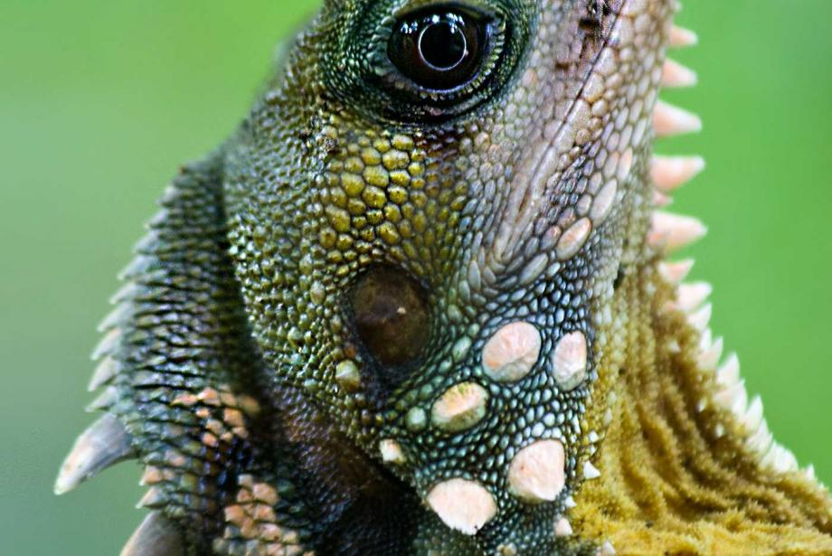 Close-up of blue and green lizard.