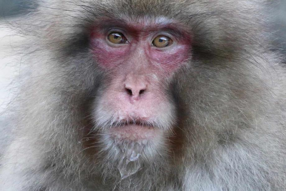 Close-up of monkey with light-brown fur and reddish face.