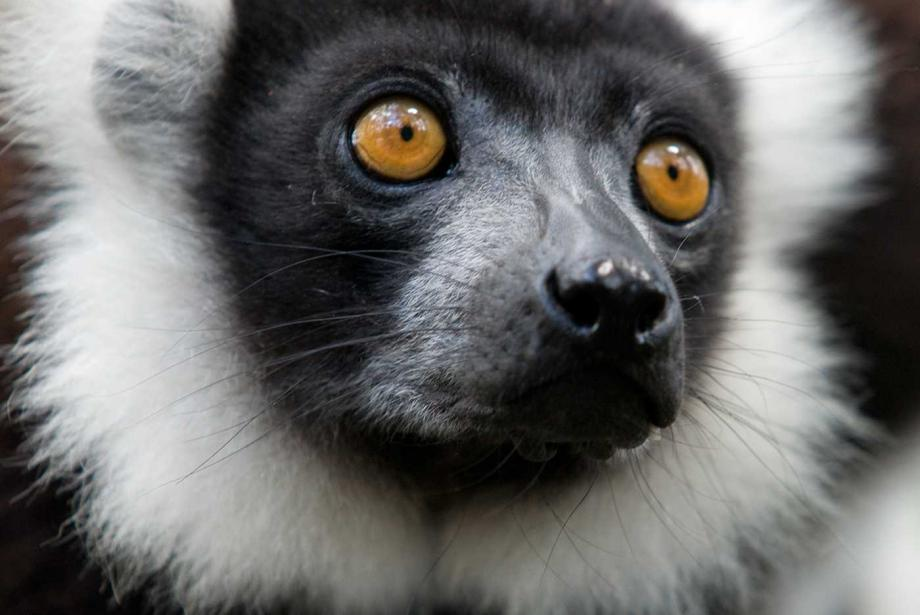 Close up of lemur's face, orange eyes.