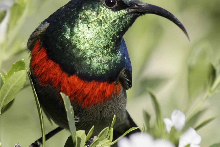 Close-up of bright green, red and blue bird with long, curving beak.
