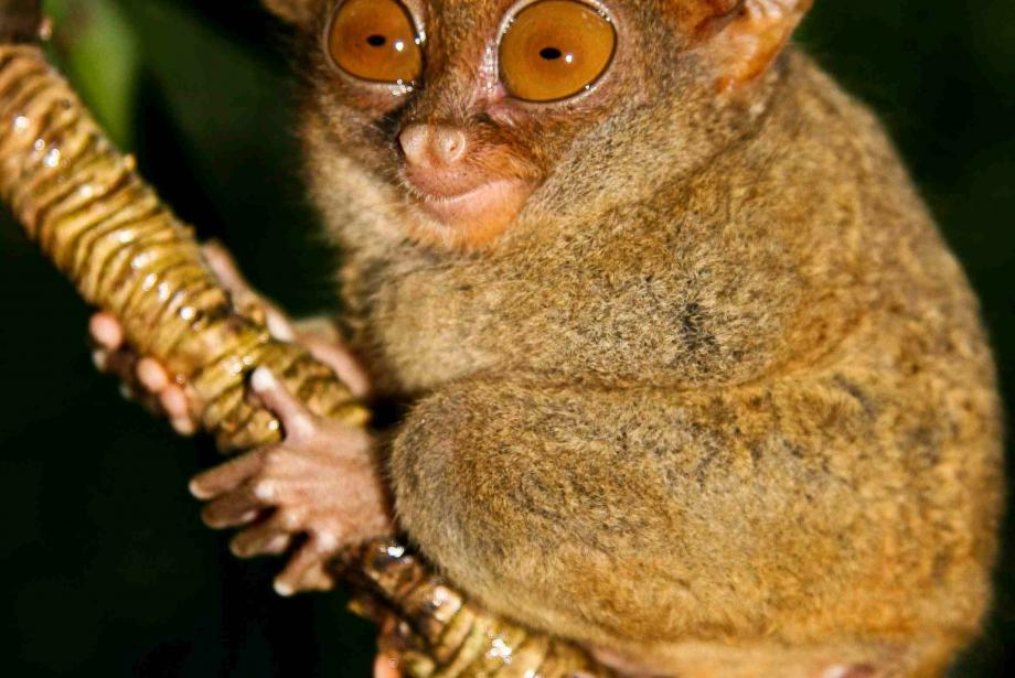 Close-up of brown, large-eyed tarsier on diagonal branch.