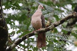 pink pigeon on branch
